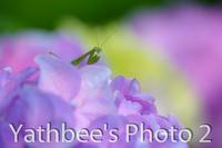 ~ カマキリの初夏 ~2020.6 - Yathbee's Photo 2