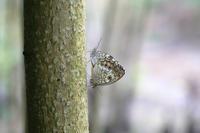 キマダラモドキ - Lycaenidaeの蝶鳥撮影日記