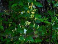 梅雨どきの植物Ⅰ - 飛騨山脈の自然