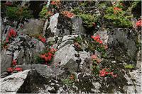 岩ツツジ - 薫の時の記憶