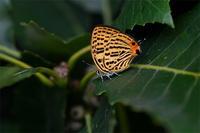 ウラナミアカシジミ・・。今年初見 - 続・蝶と自然の物語