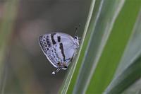 ミズイロアナガシジミ・・・ - 続・蝶と自然の物語
