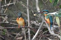 カワセミ求愛・・・結婚成立・・過去再編集 - 阪南カワセミ【野鳥と自然の物語】