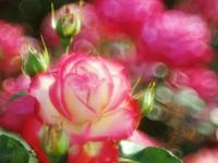 フラワーパークの薔薇6 - 光の音色を聞きながら Ⅴ