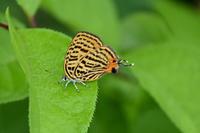 ウラナミアカシジミ飛翔写真の遊び - 蝶のいる風景blog