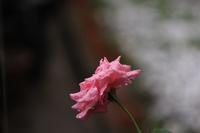 雨の日<庭の花たち> - そよ風のつぶやき