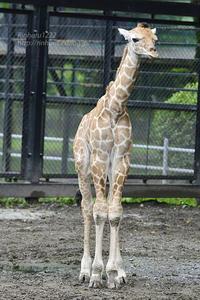 2020.6.14 宇都宮動物園☆キリンの赤ちゃん【Giraffe baby】 - 青空に浮かぶ月を眺めながら