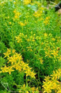 雨と多肉の黄色い花と - どんぐりの木の下で……