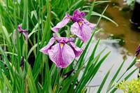 【その他】薬師池菖蒲&紫陽花・・今年は祭りなし2020.06.14- - ヴァレッタの休日 ~まったり気分をあなたに~