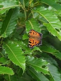タテハが多い雑木林 - 蝶超天国