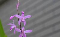 我が家の紫蘭 - へっぽこな・・