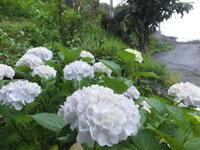 梅雨に咲く - アオモジノキモチ