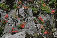 岩ツツジ<2> - 薫の時の記憶