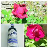 薔薇が咲いたぁ(歌:笑)カナダの薔薇、英語で「朝起きは三文の徳」は?まさに朝、英語版のその生き物の行動を目撃^^!ラグビーのワインとイタリアンディナー。 - Canadian Life☆カナダ☆