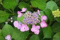 ガクアジサイの葉っぱと昆虫たち - 水元かわせみの里水辺のふれあいルーム
