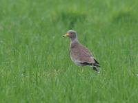 繁殖していたケリ - コーヒー党の野鳥と自然パート3