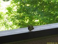 オオムラサキ初見 - 秩父の蝶