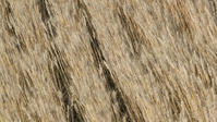 今日の小麦畑 - たなぼた