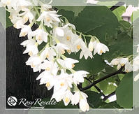 白いウツギの花 - Rosy Rosette カルトナージュ日記