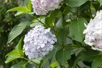 またまた紫陽花です。東京Step3_46月15日(月)6945 - from our Diary. MASH  「写真は楽しく!」