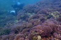 20.6.16プリプリの出現、遅れてます。 - 沖縄本島 島んちゅガイドの『ダイビング日誌』