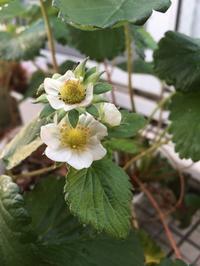 四季成りイチゴの花がまた咲いた - ワクワク♪ハマっ子野菜作り♪