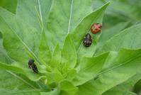 テントウムシその3/ 幼虫やら蛹やら - そらいろのパレット