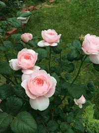 静かな  花の季節  北国の  6月の薔薇 - ハンドメイド  Atelier   maki