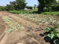 菜園だより ~玉ネギ&里芋~ - toshiさんのお気楽ブログ