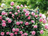 フラワーパークの薔薇8 - 光の音色を聞きながら Ⅴ