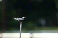 三年ぶりのクロハラアジサシ - 野鳥公園