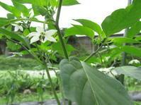 梅雨の晴れ間イノシシ - 南阿蘇 手づくり農園 菜の風