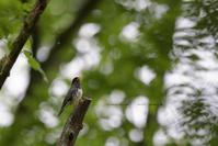 新緑の歌い手 No1 - healing-bird