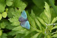 オオミドリシジミ(2020/06/15) - Sky Palace -butterfly garden- II