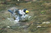 イカルの豪快な水浴び - 上州自然散策3