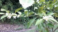柚子の花と金柑の蕾 - わらびの庭づくり。時々猫
