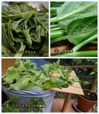 空芯菜に謎のブツブツ - ■■ Ainame60 たまたま日記 ■■