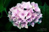 hydrangea - Happy photo gallery Ⅱ