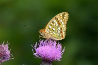 ウラギンヒョウモン・・・里 - 続・蝶と自然の物語
