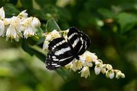 ミスジチョウ - 続・蝶と自然の物語