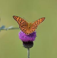 ウラギンヒョウモン蝶 - 打出頑爺の鳥探し