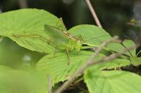 緑道の昆虫たち(ムラサキシジミ、ジャコウアゲハ、ヤブキリ) - 東京いきもの雑記帳