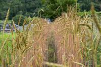 スペルト小麦218日 - 良え畝のブログ
