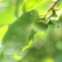 *柿* - HANA*HANA