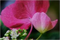 赤い紫陽花 - HIGEMASA's Moody Photo
