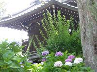 東京のあじさい寺白山神社♪色とりどりの紫陽花を見て来たよ♪ - ルソイの半バックパッカー旅