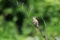 里山にオオヨシキリさん - 鳥と共に日々是好日②