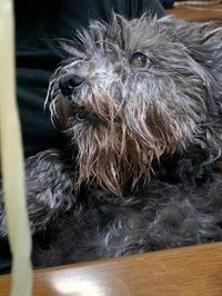 ビスコさん復活‼️大好きなうどんを食す。シニア犬と暮らす醍醐味とは。 - ケアン&レイキー・・・・とウェルシュテリア
