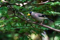 森の斑鳩(イカル) - 野鳥などの撮影記録