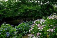 紫陽花@伏見十石船 - デジタルな鍛冶屋の写真歩記